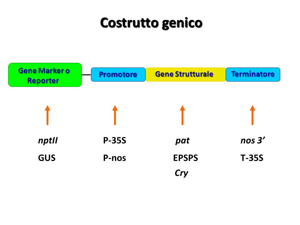 Costrutto genico nptII P-35S pat nos 3' GUS P-nos EPSPS T-35S Cry