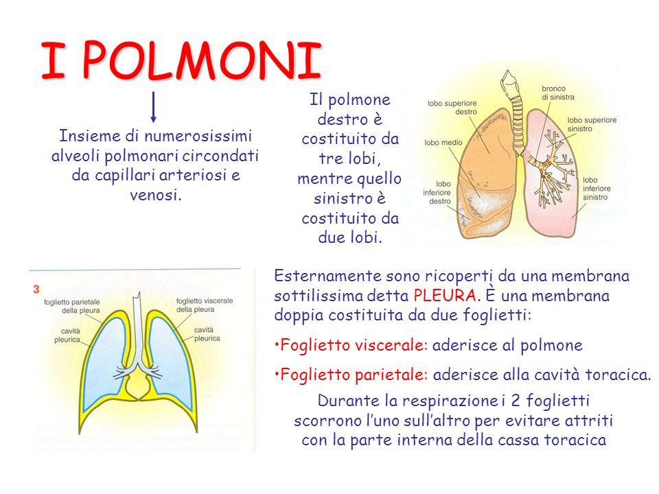 I POLMONI Il polmone destro è costituito da tre lobi, mentre quello sinistro è costituito da due lobi.