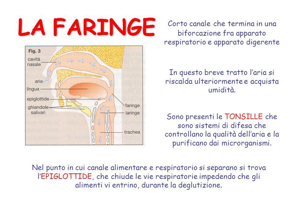 LA FARINGE Corto canale che termina in una biforcazione fra apparato respiratorio e apparato digerente.