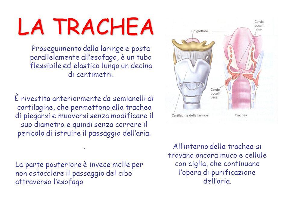 LA TRACHEA Proseguimento dalla laringe e posta parallelamente all'esofago, è un tubo flessibile ed elastico lungo un decina.