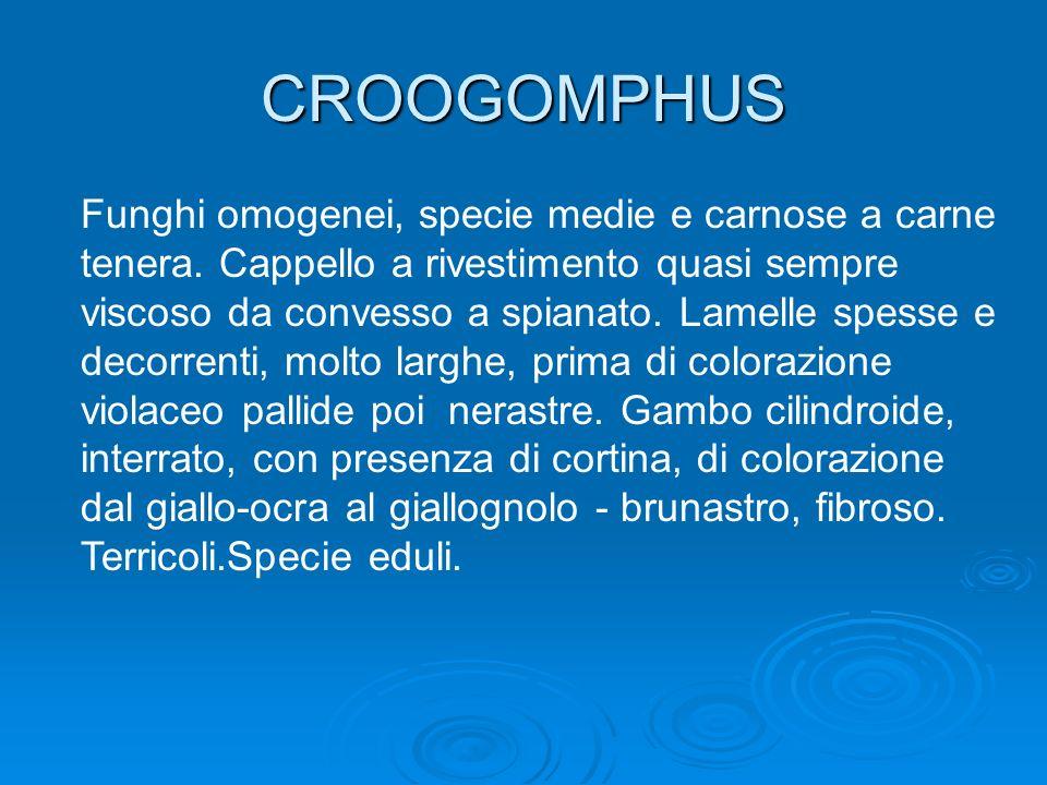 CROOGOMPHUS