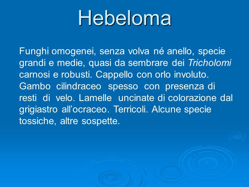 Hebeloma