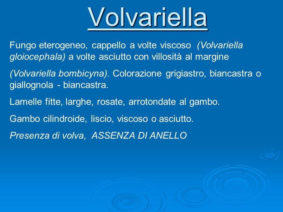 Volvariella Fungo eterogeneo, cappello a volte viscoso (Volvariella gloiocephala) a volte asciutto con villosità al margine.