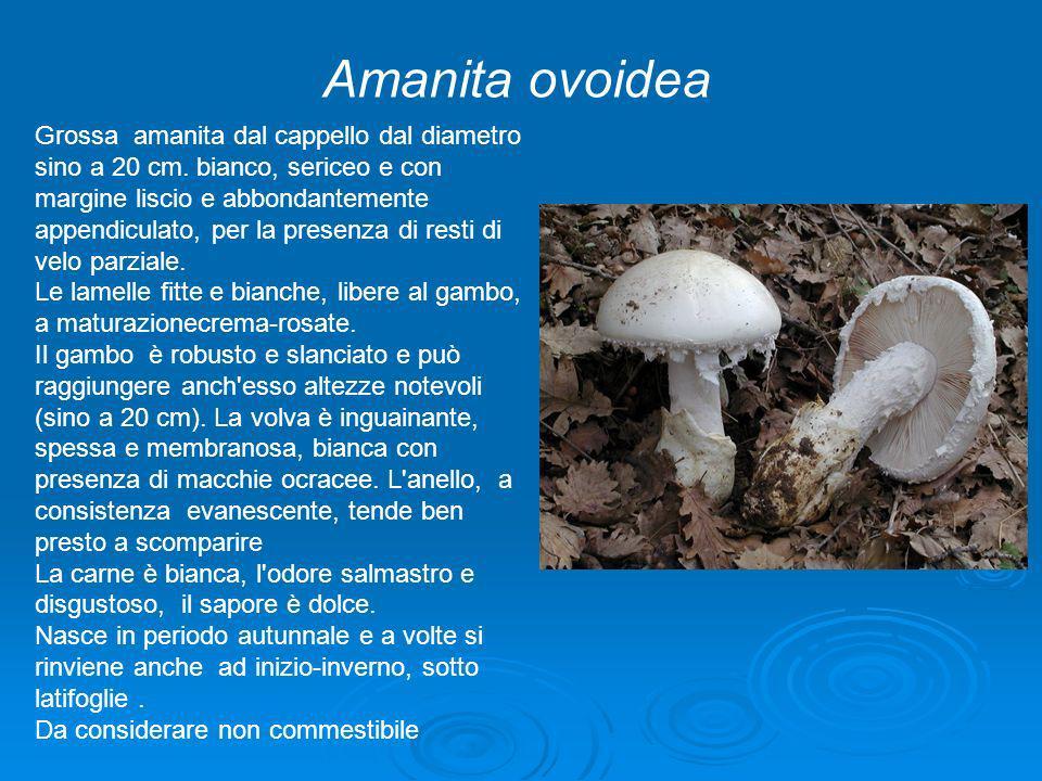 Amanita ovoidea