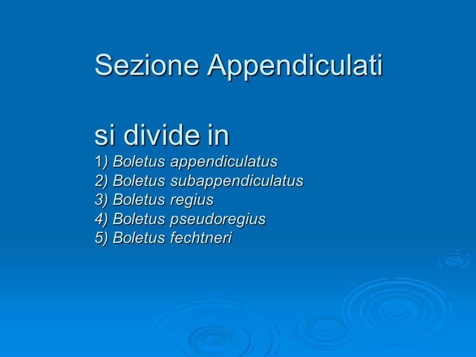 Sezione Appendiculati si divide in 1) Boletus appendiculatus 2) Boletus subappendiculatus 3) Boletus regius 4) Boletus pseudoregius 5) Boletus fechtneri