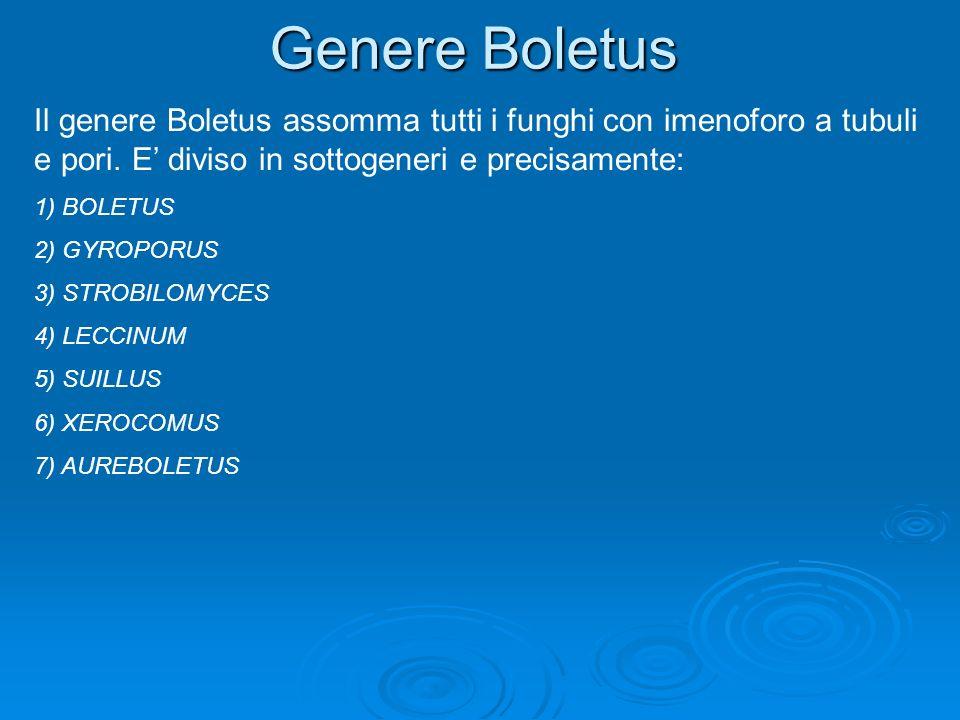 Genere BoletusIl genere Boletus assomma tutti i funghi con imenoforo a tubuli e pori. E' diviso in sottogeneri e precisamente: