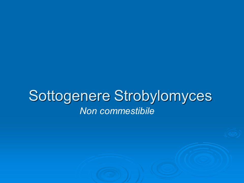 Sottogenere Strobylomyces