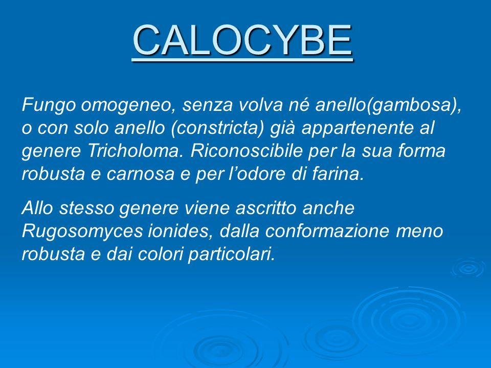 CALOCYBE