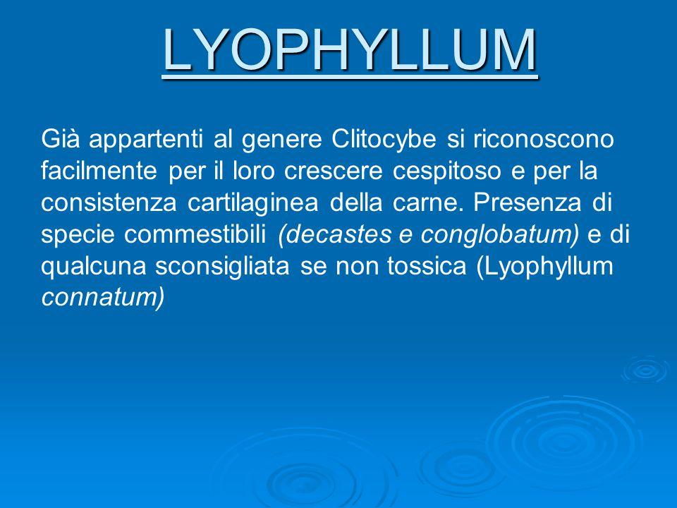 LYOPHYLLUM