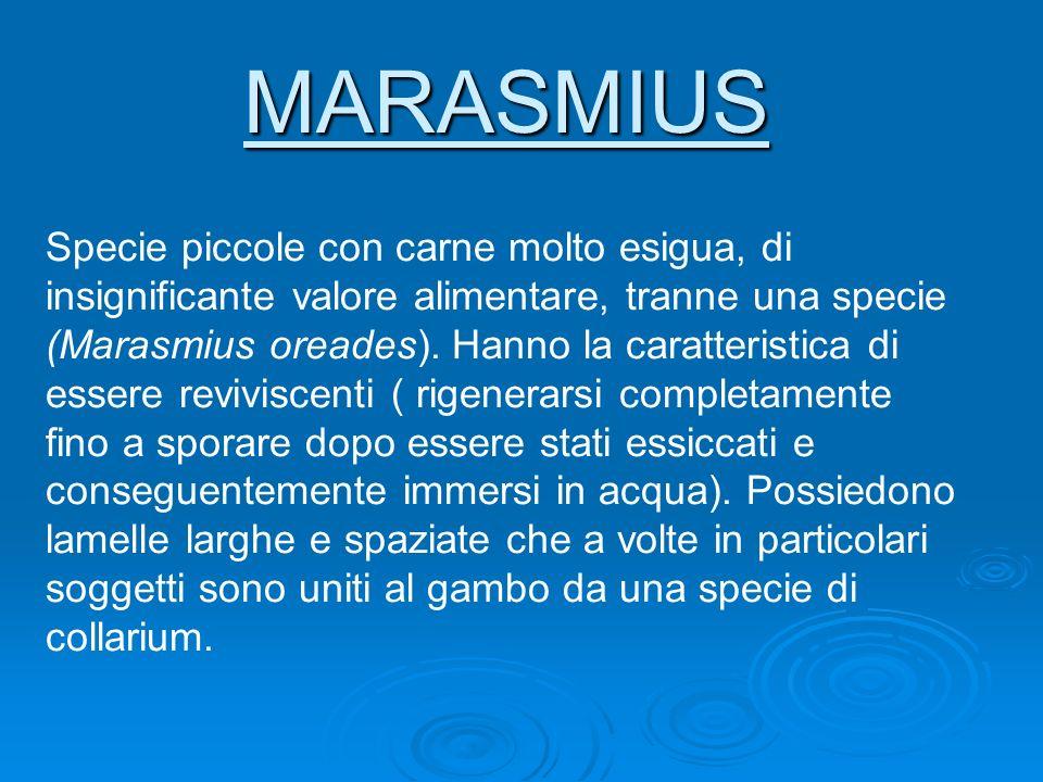 MARASMIUS