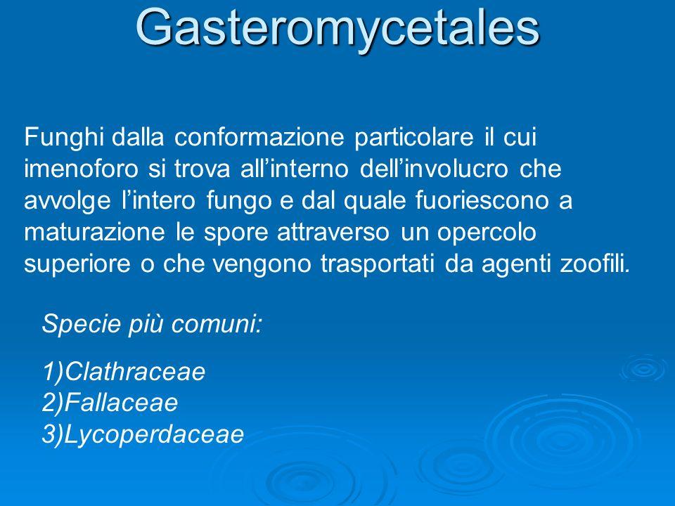 Gasteromycetales