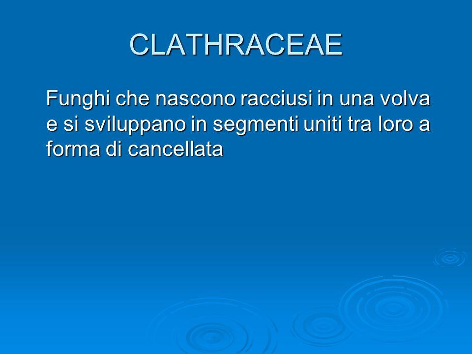 CLATHRACEAE Funghi che nascono racciusi in una volva e si sviluppano in segmenti uniti tra loro a forma di cancellata.
