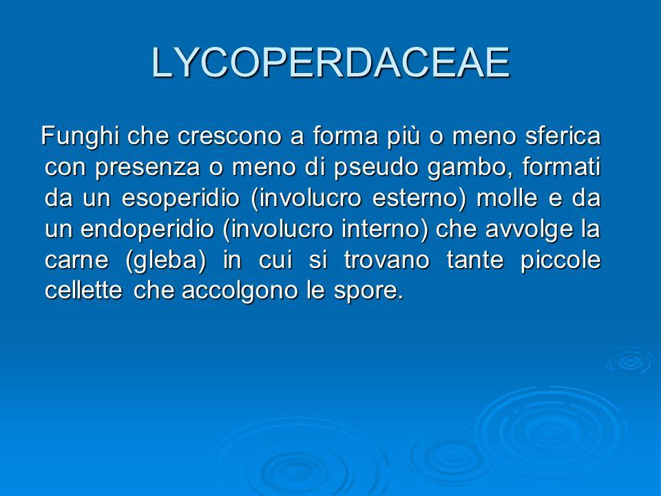 LYCOPERDACEAE