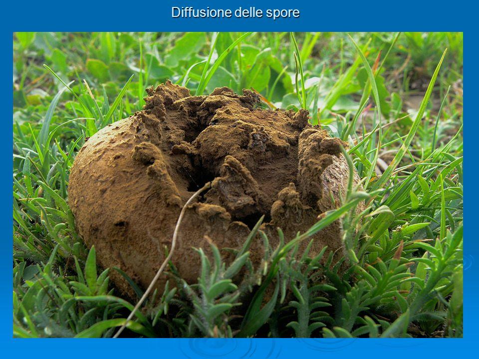 Diffusione delle spore