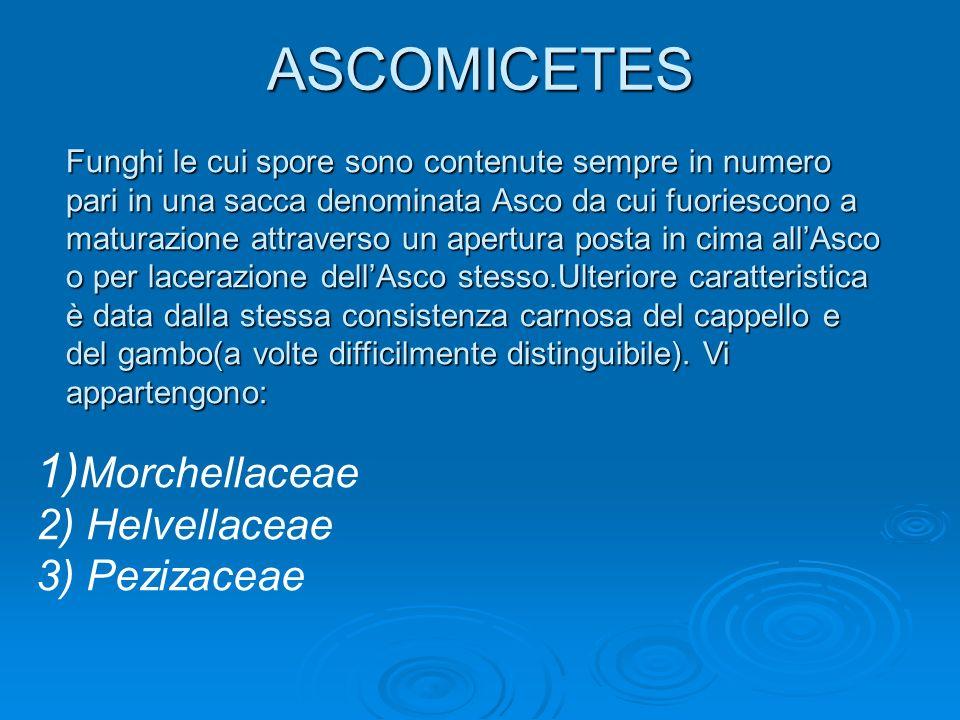 ASCOMICETES 1)Morchellaceae 2) Helvellaceae 3) Pezizaceae