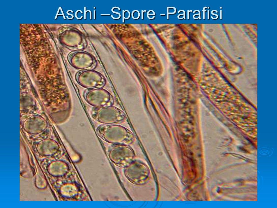 Aschi –Spore -Parafisi