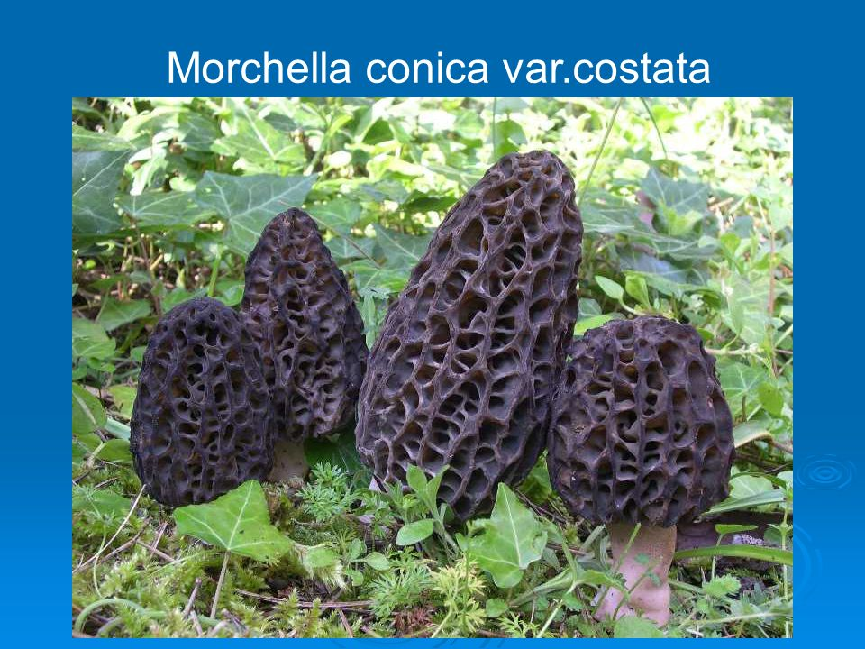 Morchella conica var.costata
