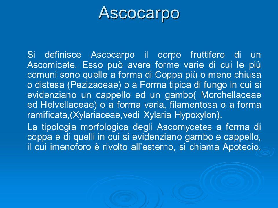 Ascocarpo