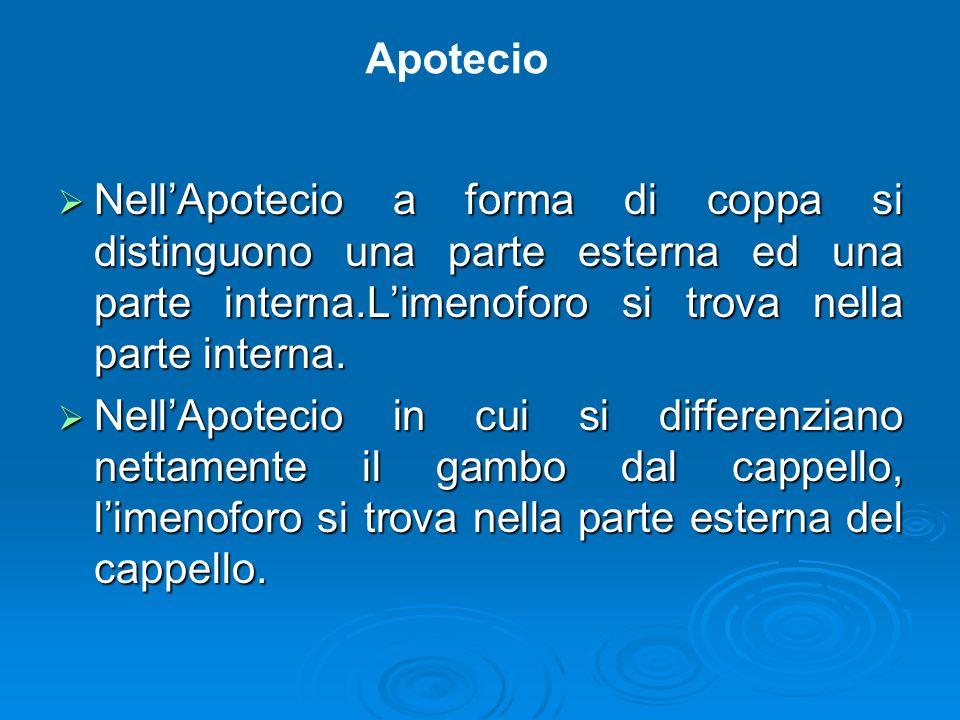 Apotecio Nell'Apotecio a forma di coppa si distinguono una parte esterna ed una parte interna.L'imenoforo si trova nella parte interna.