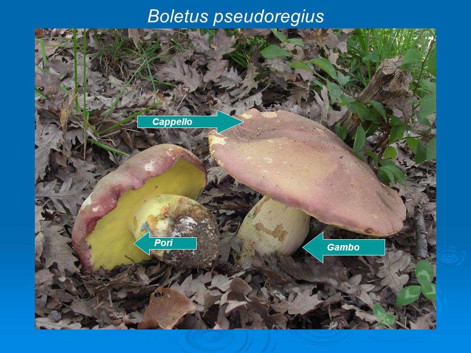 Boletus pseudoregius Cappello Pori Gambo