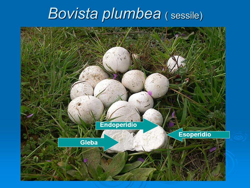 Bovista plumbea ( sessile)