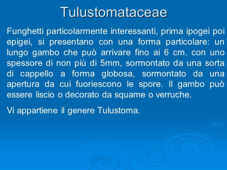 Tulustomataceae