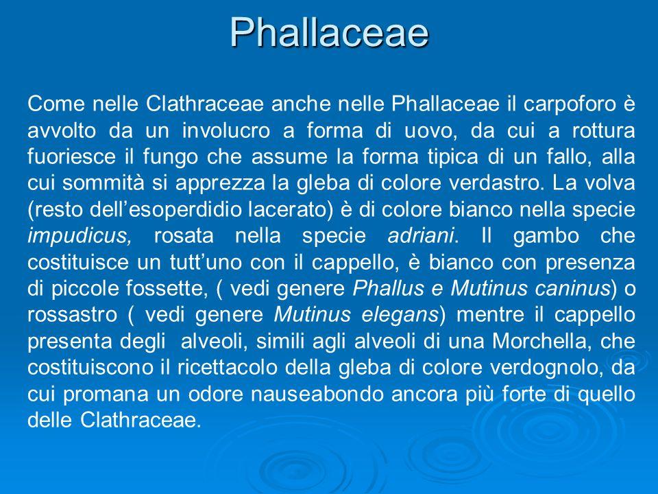 Phallaceae