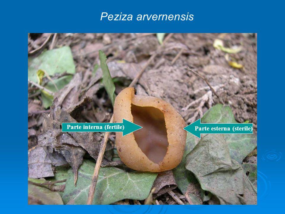 Peziza arvernensis Parte interna (fertile) Parte esterna (sterile)