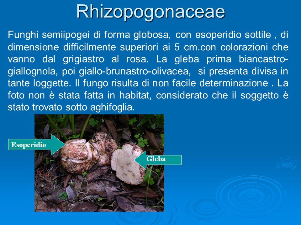 Rhizopogonaceae
