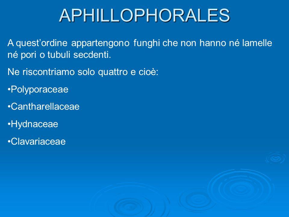 APHILLOPHORALES A quest'ordine appartengono funghi che non hanno né lamelle né pori o tubuli secdenti.