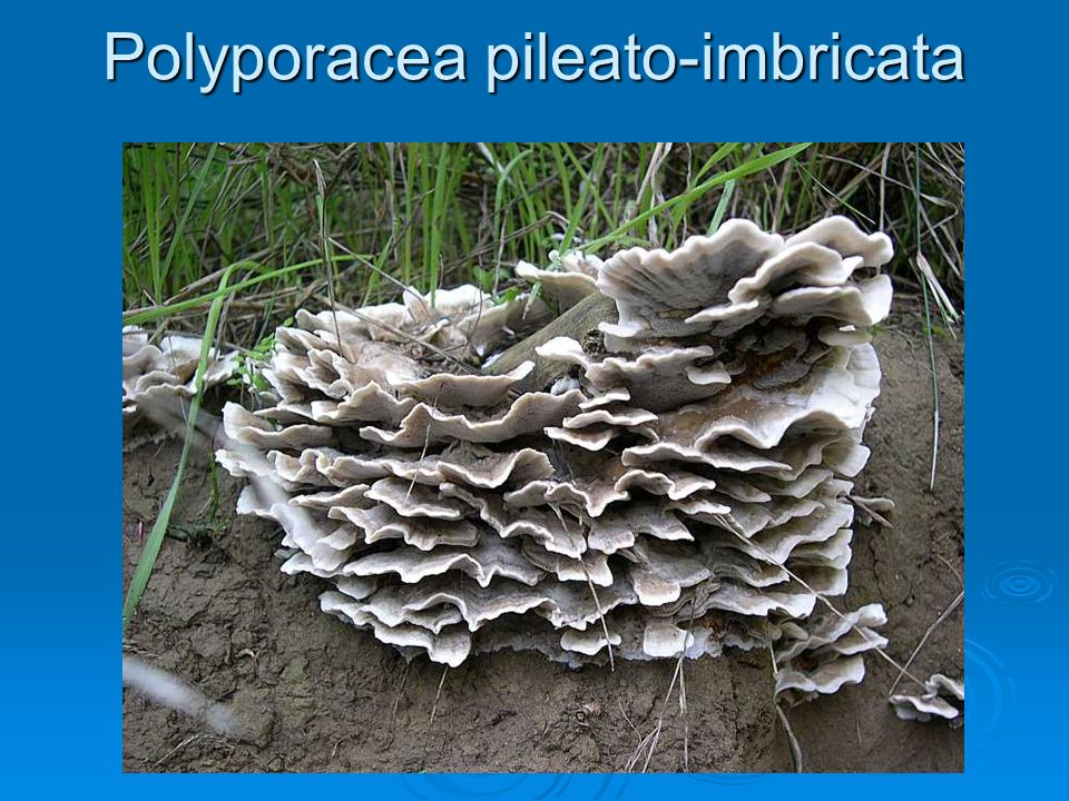 Polyporacea pileato-imbricata