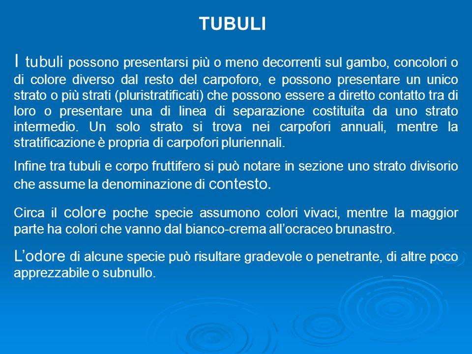 TUBULI
