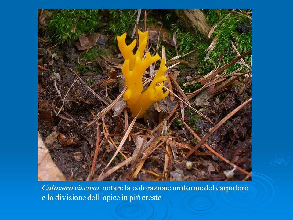 Calocera viscosa: notare la colorazione uniforme del carpoforo e la divisione dell'apice in più creste.