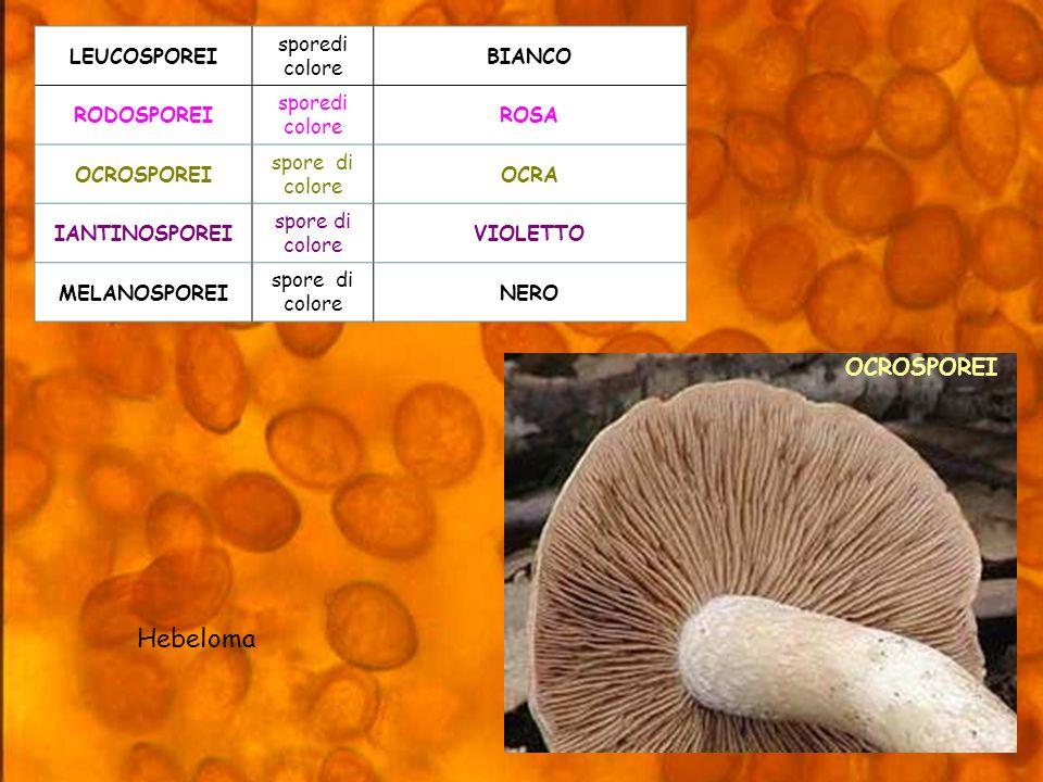 Hebeloma OCROSPOREI LEUCOSPOREI sporedi colore BIANCO RODOSPOREI ROSA