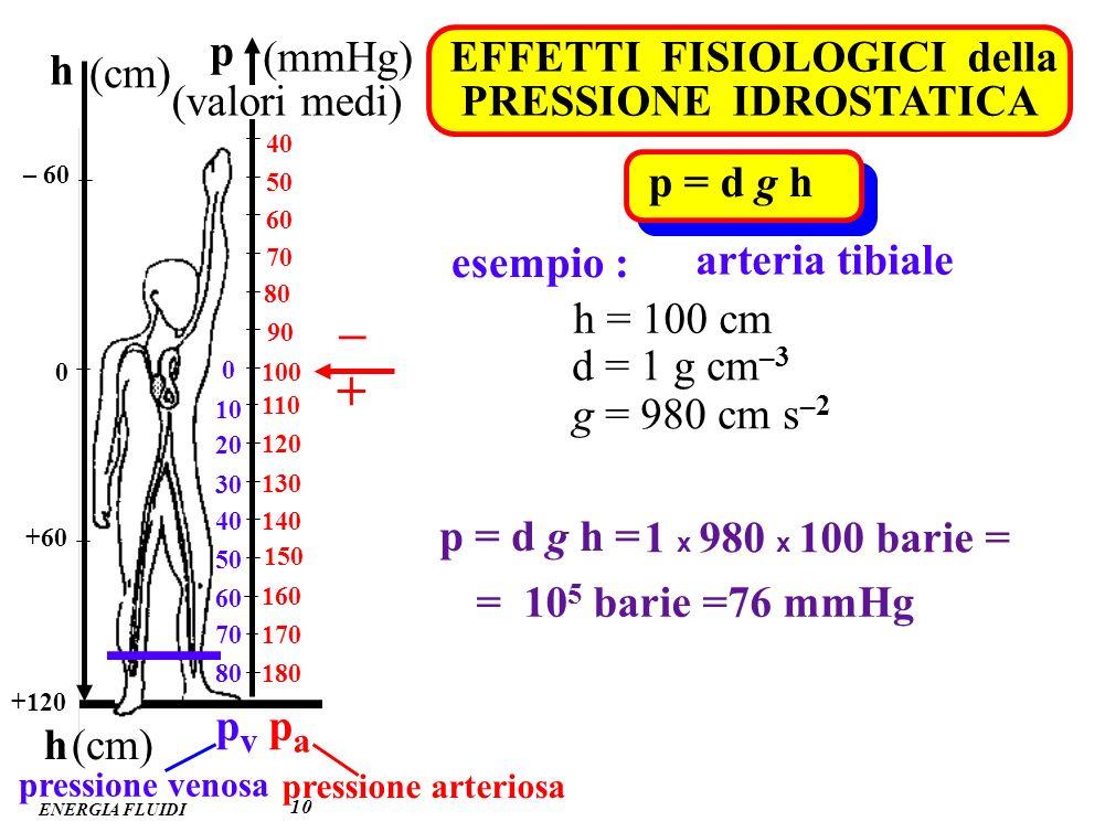 – + p (mmHg) h EFFETTI FISIOLOGICI della PRESSIONE IDROSTATICA (cm)