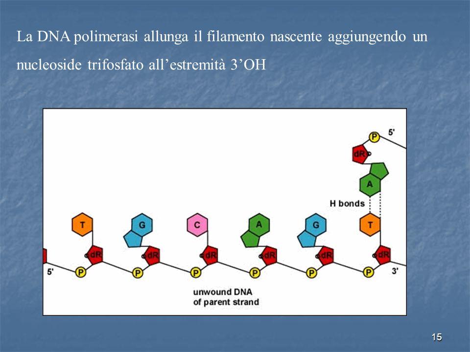 La DNA polimerasi allunga il filamento nascente aggiungendo un nucleoside trifosfato all'estremità 3'OH