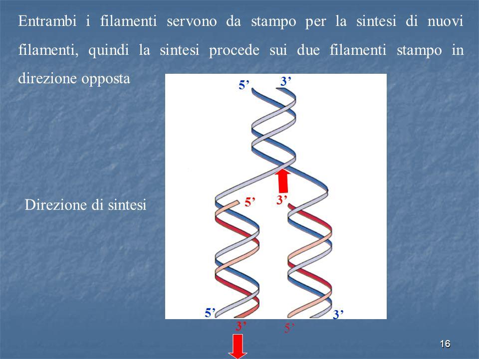Entrambi i filamenti servono da stampo per la sintesi di nuovi filamenti, quindi la sintesi procede sui due filamenti stampo in direzione opposta