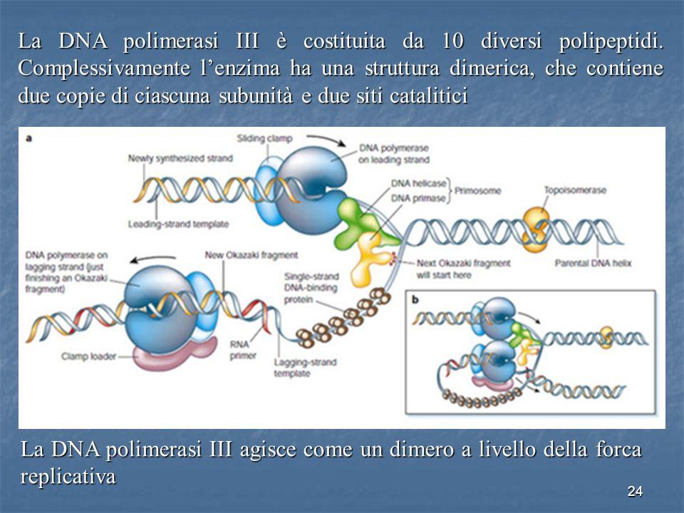 La DNA polimerasi III è costituita da 10 diversi polipeptidi