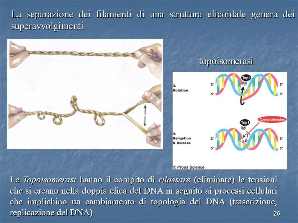 La separazione dei filamenti di una struttura elicoidale genera dei superavvolgimenti