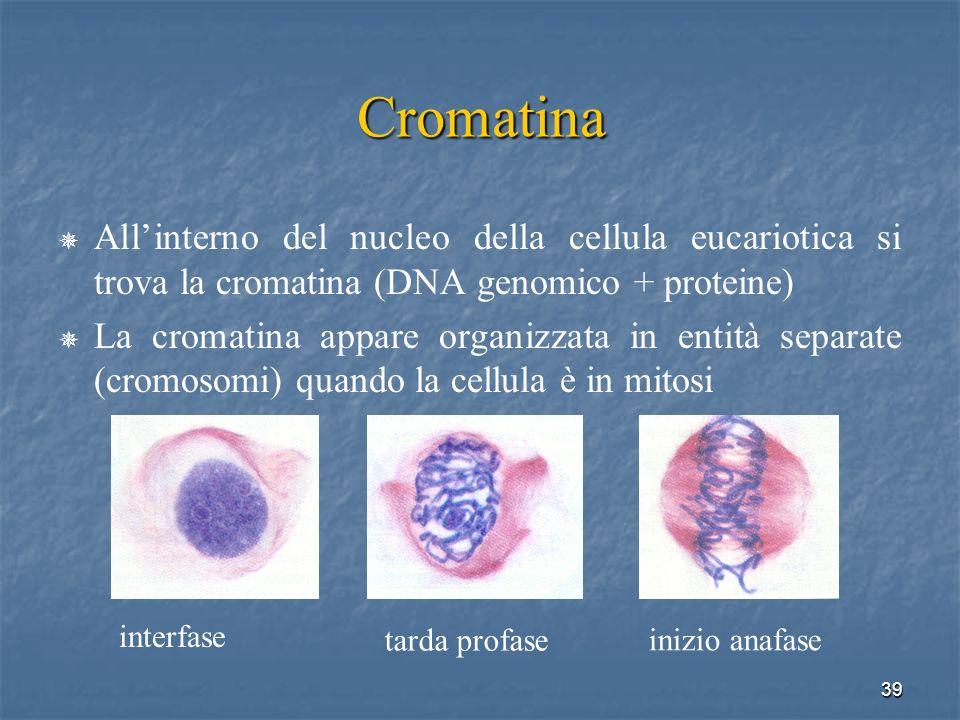 Cromatina All'interno del nucleo della cellula eucariotica si trova la cromatina (DNA genomico + proteine)