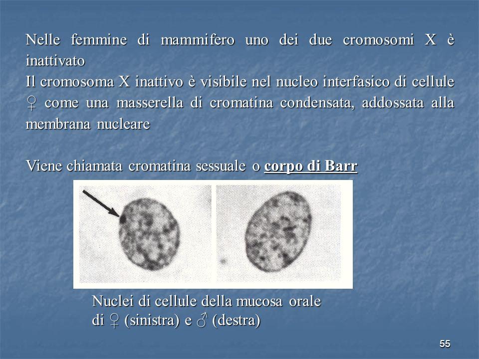 Nelle femmine di mammifero uno dei due cromosomi X è inattivato