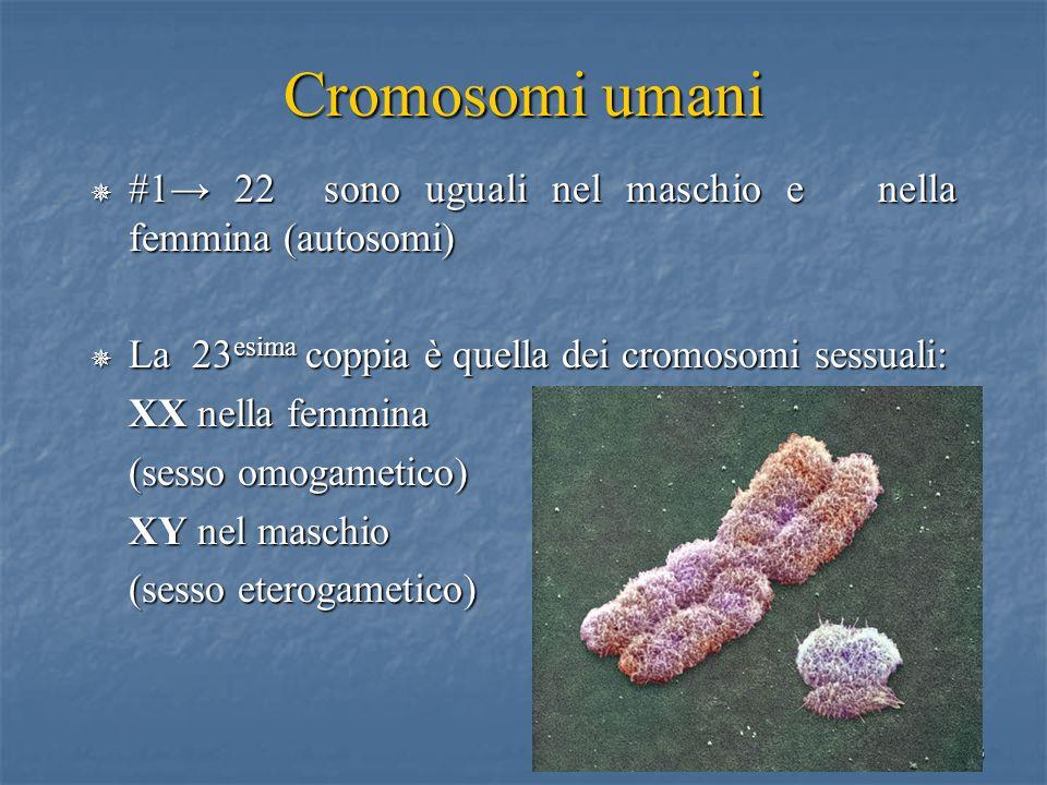 Cromosomi umani #1→ 22 sono uguali nel maschio e nella femmina (autosomi) La 23esima coppia è quella dei cromosomi sessuali: