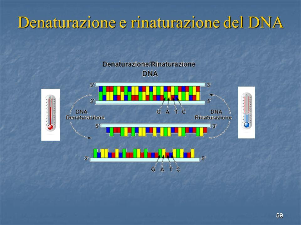 Denaturazione e rinaturazione del DNA