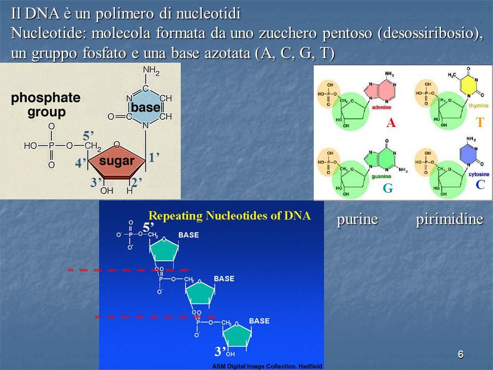 Il DNA è un polimero di nucleotidi