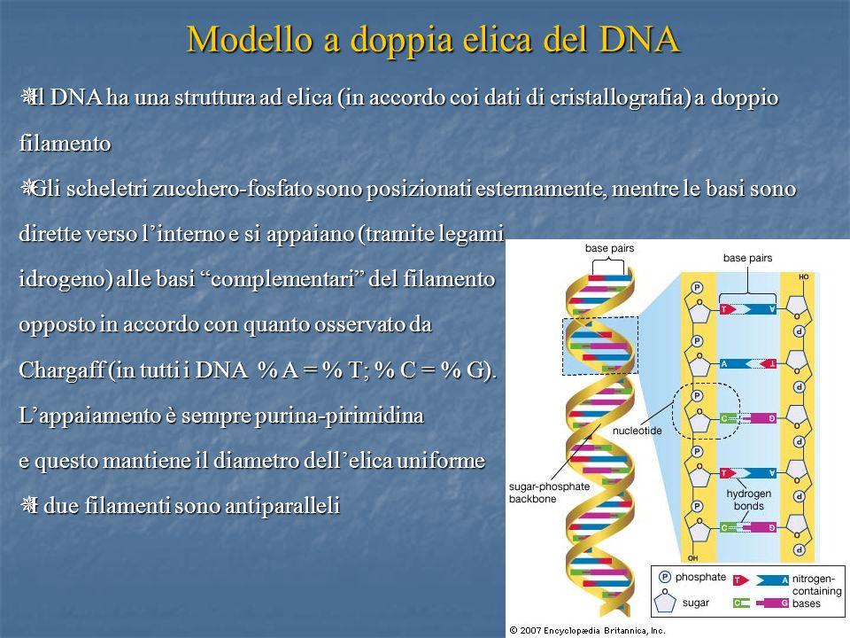 Modello a doppia elica del DNA