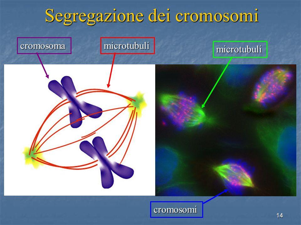 Segregazione dei cromosomi