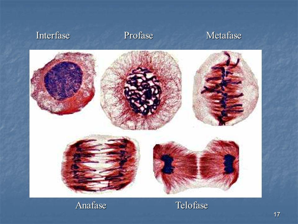 Interfase Profase Metafase Anafase Telofase