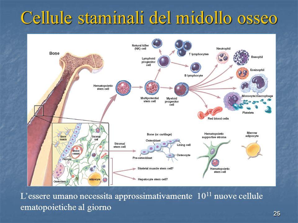 Cellule staminali del midollo osseo