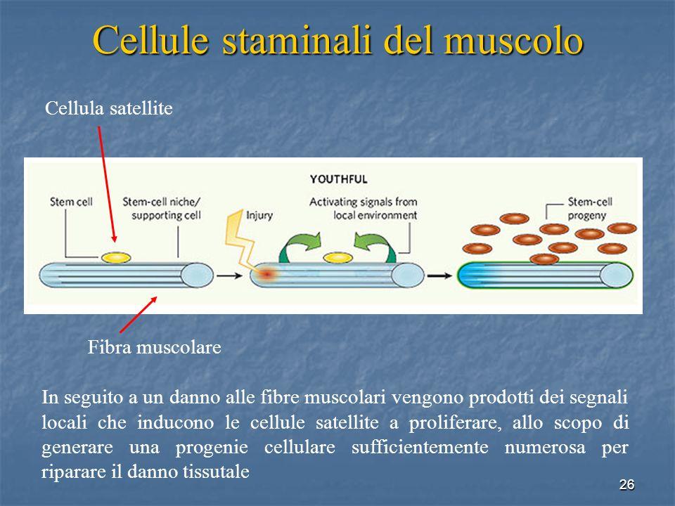 Cellule staminali del muscolo