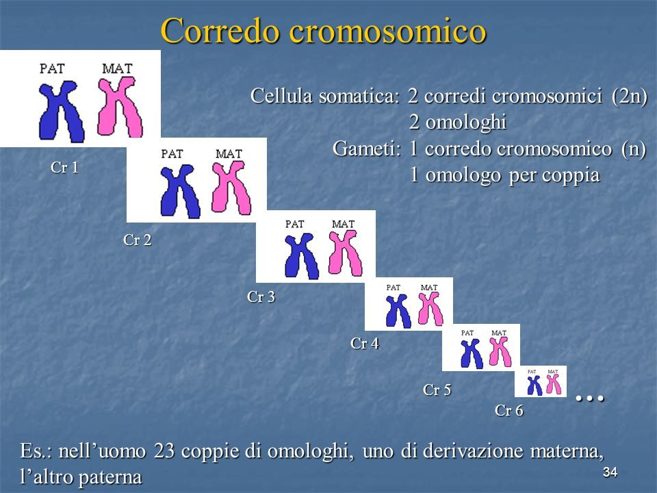 Corredo cromosomico … Cellula somatica: 2 corredi cromosomici (2n)